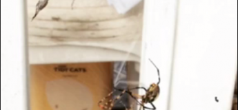 Un affrontement entre deux araignées où la plus rapide gagne