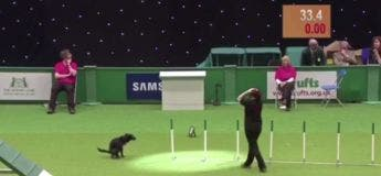 Un chien foire sa prestation d'une drôle de manière de parcours canin alors qu'il frôlait l'excellence !