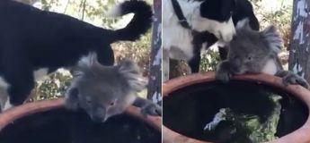 Un koala survivant du grand feu de brousse a trouvé une nouvelle famille