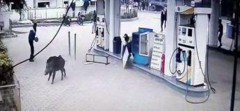 Inde : un sanglier errant en ville a semé le trouble dans une station-service