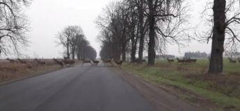 Un troupeau de cerfs traverse une route en Hongrie