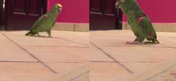 Ce perroquet rit littéralement comme un super-vilain et on l'adore !