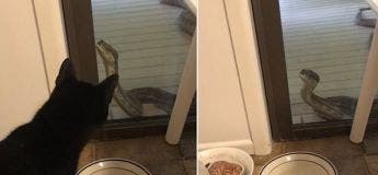 Un énorme python tente de se faufiler par une porte coulissante devant un chat terrifié