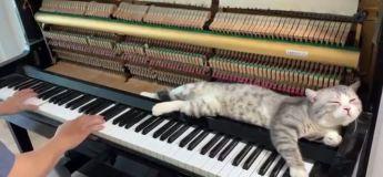 À force d'aimer la reprise en piano de Numb de Linkin Park, ce chat restait allongé près de son maître le long de la chanson sans bouger !