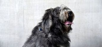 Un chien de berger avec 1,8 kg de fourrure s'est fait couper les cheveux et découvrez son nouveau look