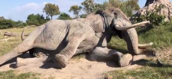 Cet énorme éléphant s'est couché au pied de son soigneur pour qu'il traite son œil, des images impressionnantes !
