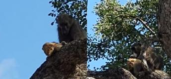 Afrique du Sud : un babouin soigne un lionceau et recrée la scène du film Le Roi Lion