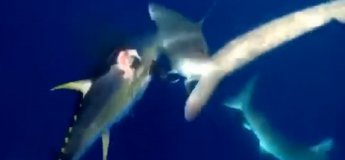 Un pêcheur plongeur se bat avec un requin pour récupérer son thon qu'il a récupéré avec son harpon