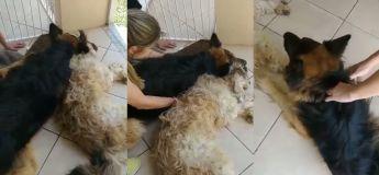 Ce pauvre chien n'arrête pas de crier croyant que son ami anesthésié est mort