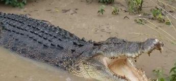Vidéo : un énorme crocodile d'eau salée charge un groupe d'enfants au bord d'une rivière