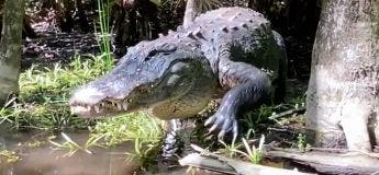 Vidéo : une femme se retrouve nez à nez avec un énorme alligator dans les marais
