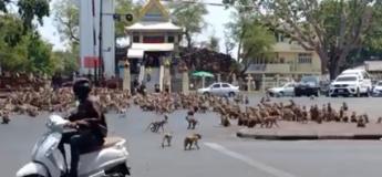 Des bandes de singes affamés font la guerre en pleine rue !