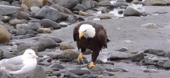Ce magnifique aigle à tête blanche marche sur la côte au milieu d'autres oiseaux