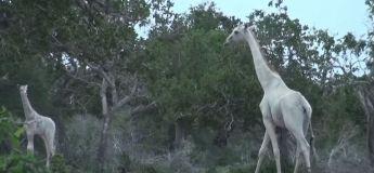 Kenya : des chasseurs tuent l'unique girafe blanche femelle (vidéo)