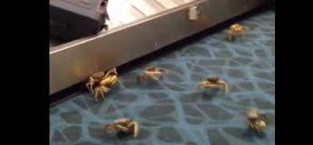 Des crabes envahissent le tapis roulant d'un aéroport !