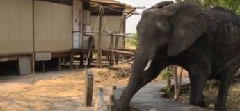 Impressionnant : cet éléphant est conscient que son poids pourrait casser la passerelle et fait très attention lorsqu'il le traverse