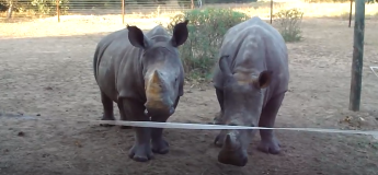 Vous serez étonné d'entendre le son émis par ces rhinocéros !