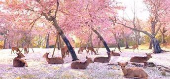 Charmant ! Des cerfs se reposent sous les cerisiers en fleurs d'un parc japonais