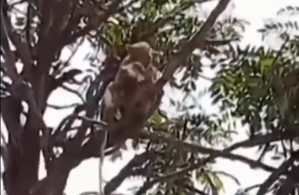 Une bande de singes attaque un laborantin et s'enfuit avec des échantillons de tests sanguins pour le coronavirus