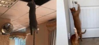 Cette amusante vidéo nous montre à quel point les chats sont habiles avec leurs pattes, ils peuvent faire des missions impossibles !
