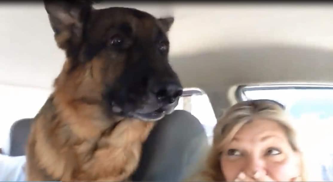 Se rendant compte qu'il allait chez le vétérinaire, ce berger allemand semble effrayé, sa réaction est toute mignonne