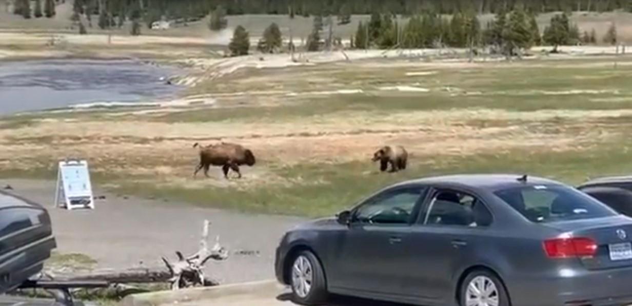 États-Unis : un grizzly a abattu un bison dans le parc de Yellowstone
