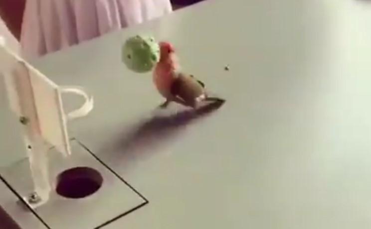 Ces oiseaux jouent au basket, ils sont juste adorables !