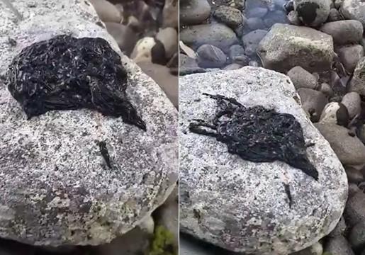 Connaissez-vous cette mystérieuse créature noire ? C'est l'animal le plus long du monde et il ressemble à Venom !