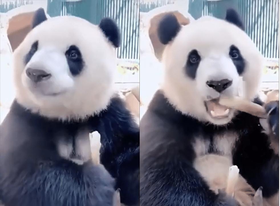 Que mange le panda à part les humains ?