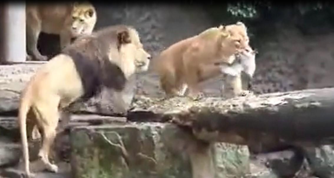 Ce canard chanceux a réussi à s'échapper des crocs des lions et c'est un miracle
