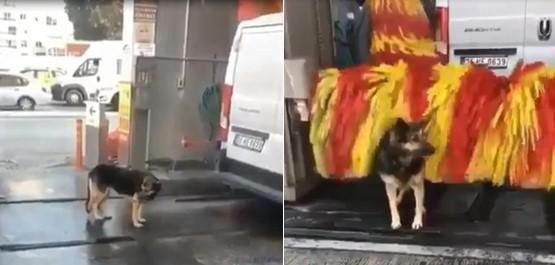Ce chien profite du rouleau de cette station de lavage automatique pour se faire brosser