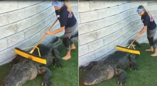 Une femme nettoie un alligator avec un balai