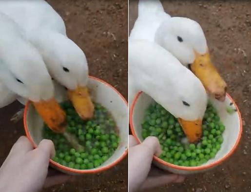Ces canards avalent en très peu de temps les petits pois