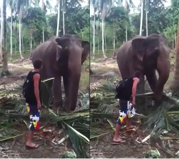 Cet éléphant n'aime pas qu'on se moque de lui quand il mange