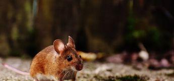 Un père de famille voulait aider en se débarrassant d'un rat qui a semé la panique sur une place, mais il n'a fait qu'empirer la situation !