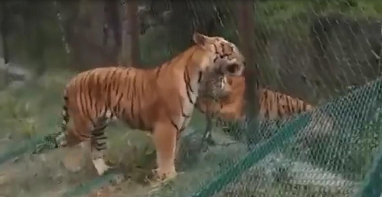 Un tigre sauvage et un tigre d'un parc ont livré un combat entre eux