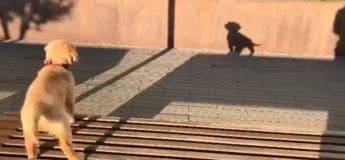 Vidéo amusante : confus, un petit chien aboie contre son ombre