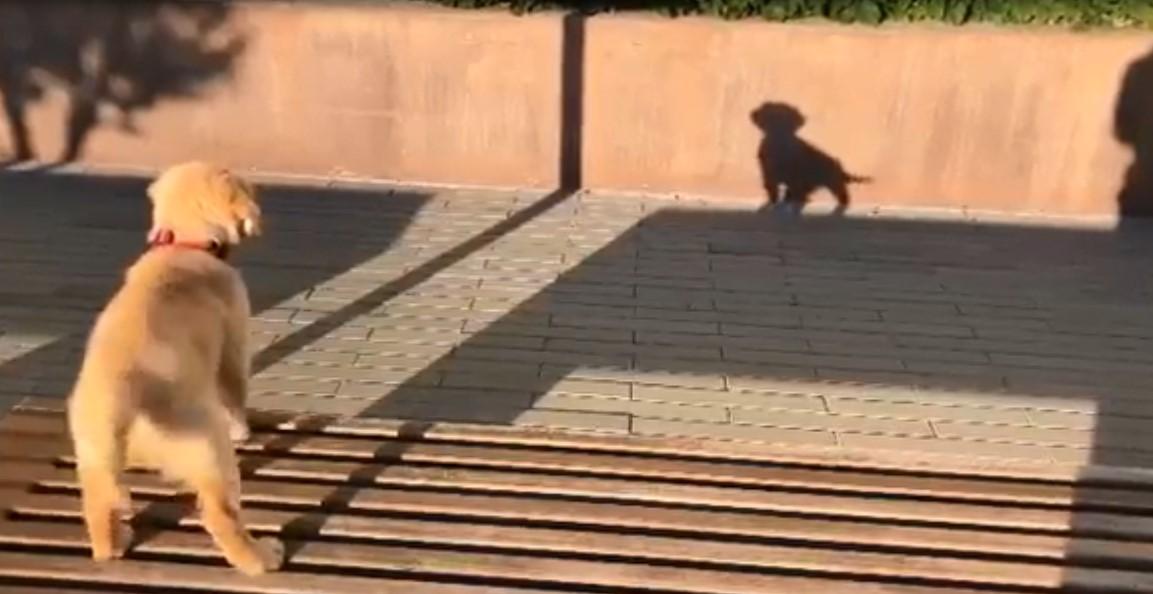 Confus, un petit chien aboie contre son ombre