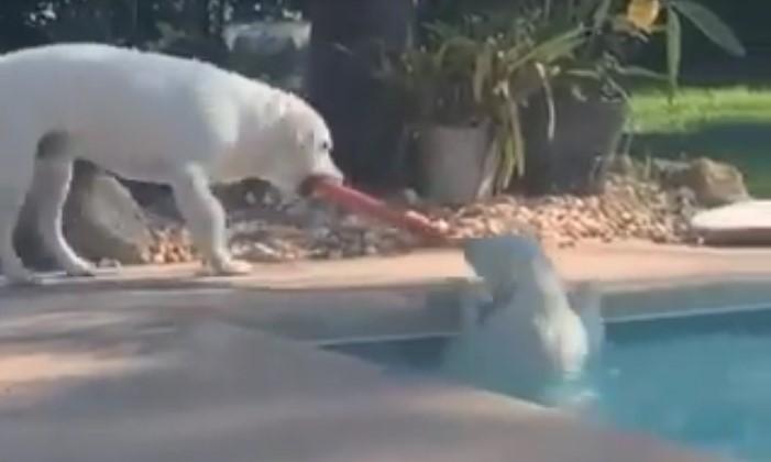 Ce chien intelligent se sert d'un jouet pour secourir son ami tombé accidentellement dans la piscine