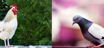 Un pigeon a définitivement battu un coq avec sa combativité et ses ailes