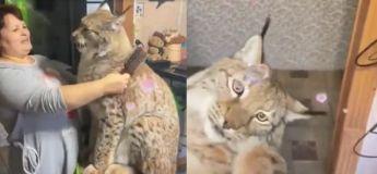 Une dame et son lynx de compagnie se font de gros câlins, regardez comme c'est mignon !