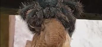 Une tarentule déguste tranquillement un oiseau bien plus grand qu'elle