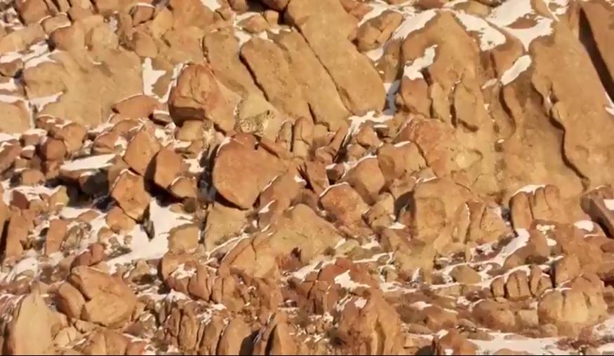 Une vidéo rare de léopards des neiges qui se prélassent au soleil