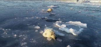 Des ours polaires chassent un drone sous la glace, car ils pensaient que c'était de la nourriture