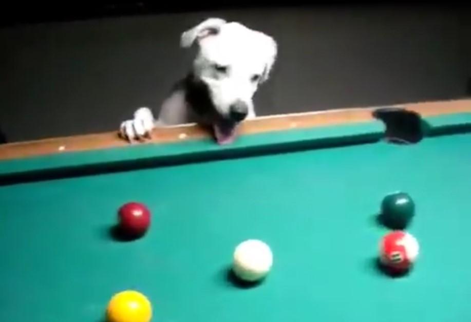 Ce chien est un vrai as du billard, il joue beaucoup mieux que certaines personnes !