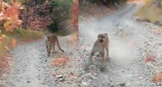 Pourchassé par un cougar, un joggeur a eu la plus grosse peur de sa vie, mais trouve encore le temps de filmer la scène !