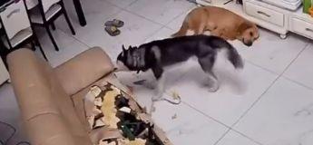 Un husky peut-il vivre dans un appartement ? La réponse en vidéo