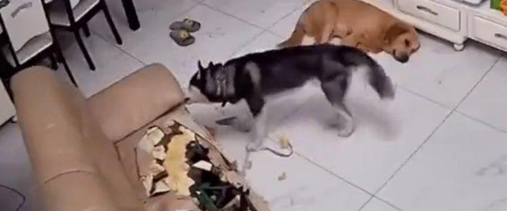 Un husky peut-il vivre dans un appartement ?