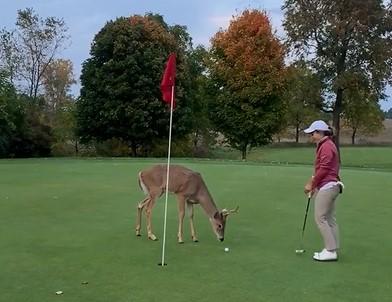 Ce jeune cerf se balade au beau milieu d'un terrain de golf pour chercher de la nourriture