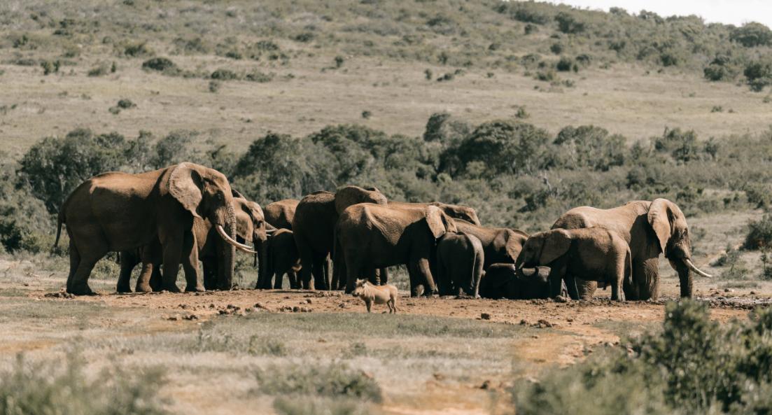 Des satellites peuvent désormais surveiller les animaux vulnérables et menacés comme les éléphants d'Afrique à partir d'algorithmes